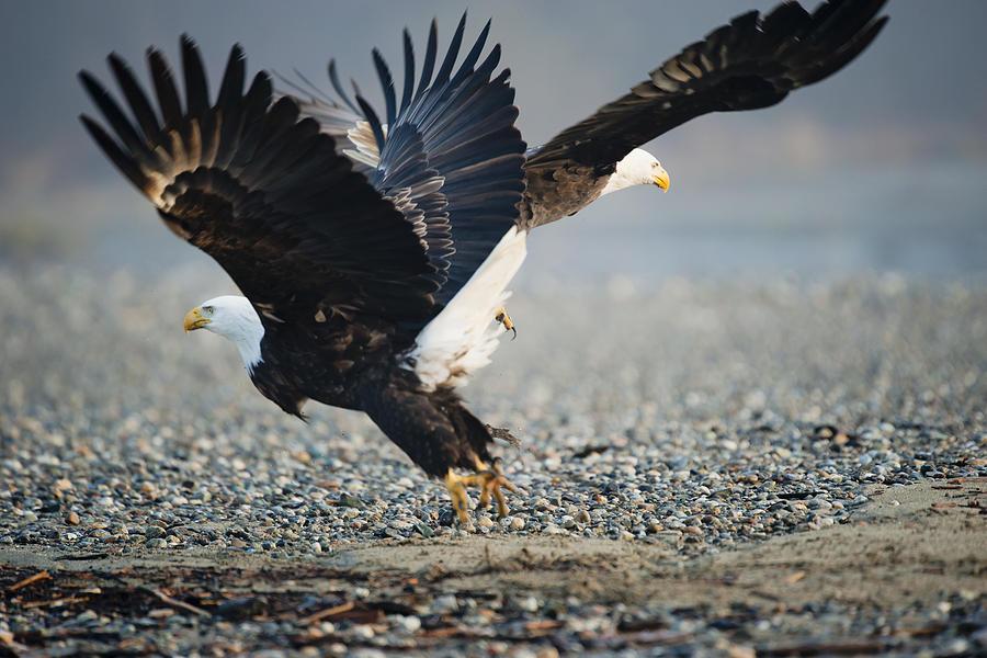Bald Eagle Photograph - Jump Start by Yoshiki Nakamura