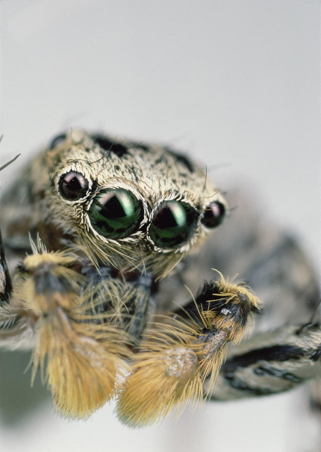 Jumping Spider Maevia Sp Male Portrait Photograph by Mark Moffett