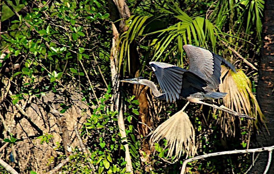 Bird In Flight Photograph - Jungle Flight by Joseph Yarbrough
