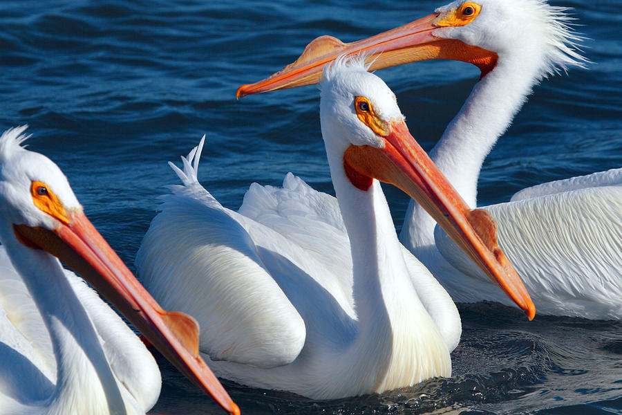American White Pelican Photograph - Just Hanging Out by Andrew McInnes