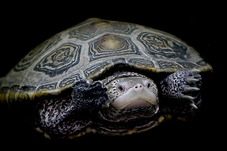 Turtle Photograph - Just Keep Swimming by Paulette Thomas