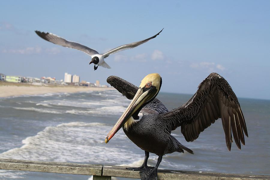 Pelican Photograph - Just Passing By To Say Hello by Paulette Thomas