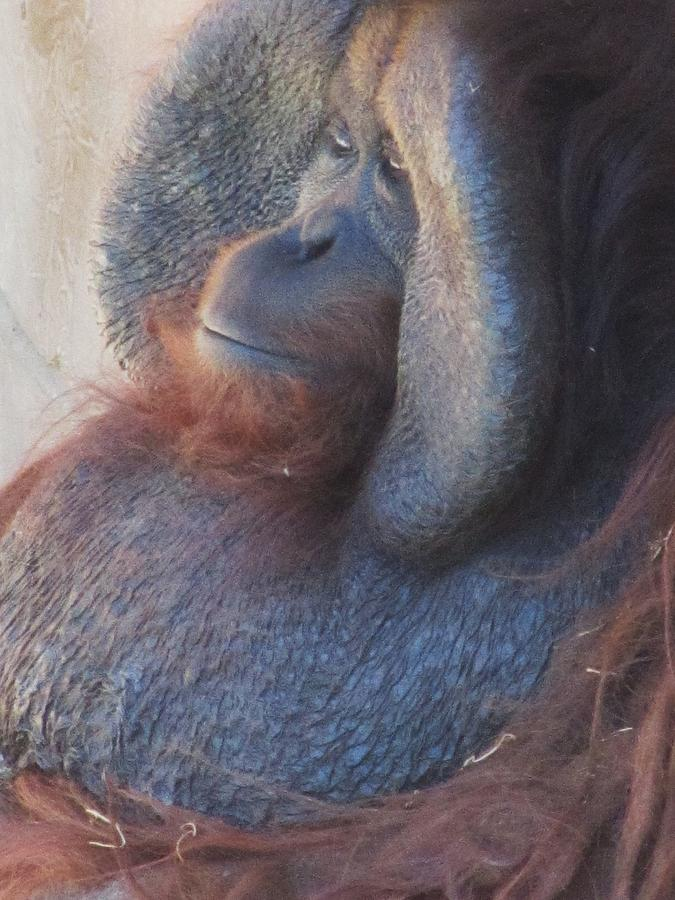 Orangutan Photograph - Just Thinking-2 by Todd Sherlock
