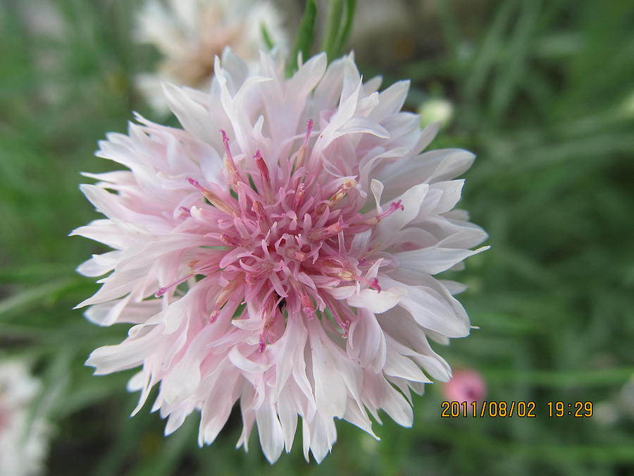 Flowers Photograph - Just Very Pretty Pink by Tina M Wenger