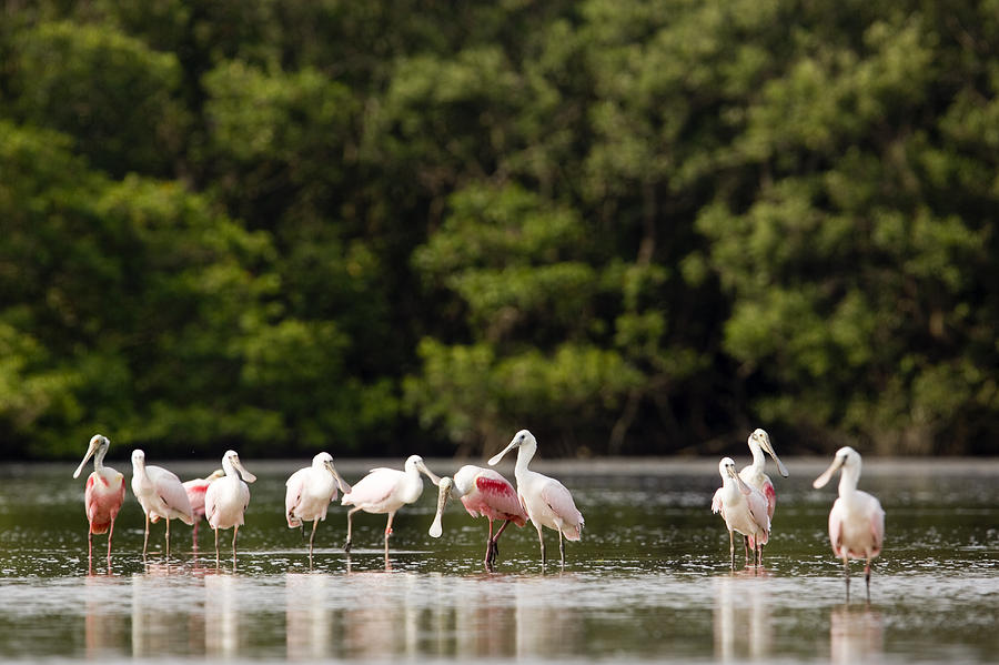 Preening Photograph - Juvenile And Adult Roseate Spoonbills by Tim Laman