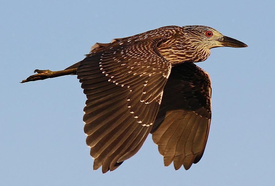 Black Night Heron Photograph - Juvenile Black Crowned Night Heron In Flight by Paulette Thomas