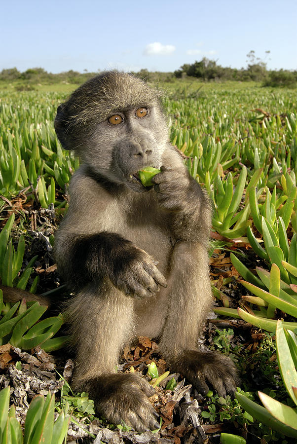 Chacma Baboon Photograph - Juvenile Chacma Baboon by Peter Chadwick