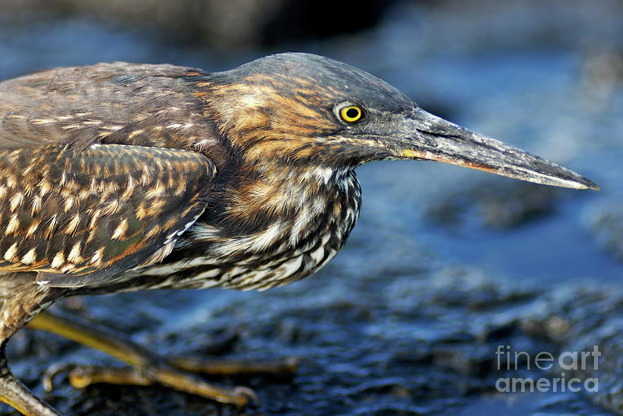Concentration Photograph - Juvenile Green-backed Heron by Sami Sarkis
