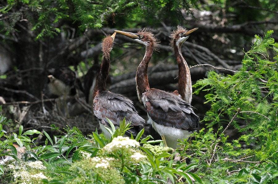 Wading Birds Photograph - Juvenile Herons by Ernst Schwarz