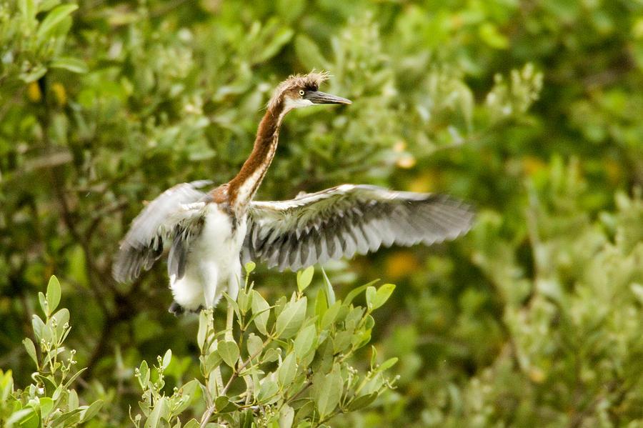 Nobody Photograph - Juvenile Tricolored Heron Egretta by Tim Laman