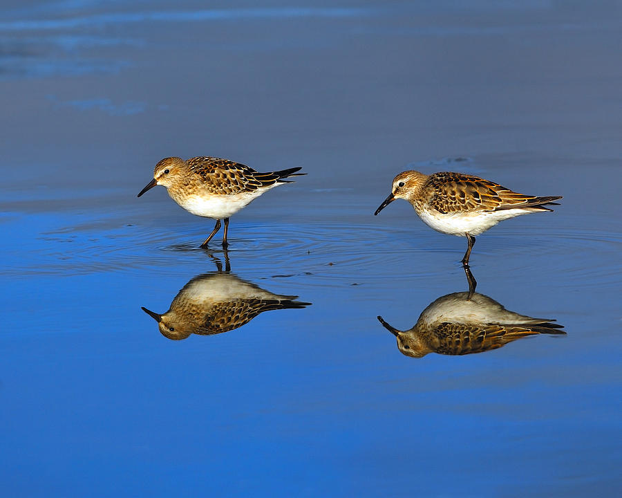 Sandpiper Photograph - Juvenile White-rumped Sandpipers by Tony Beck