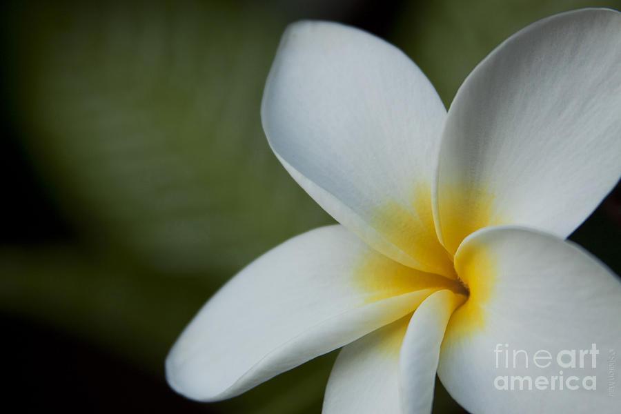 Aloha Photograph - Kaena Mana I Ka Lani Kaulani Na Pua Plumeria Hawaii by Sharon Mau