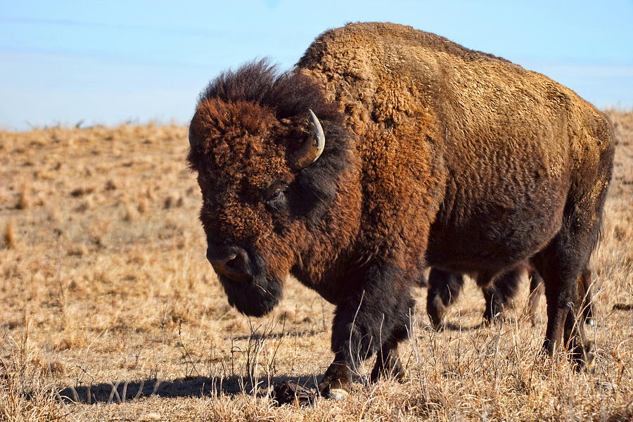 Kansas Photograph - Kansas Buffalo by Alan Hutchins