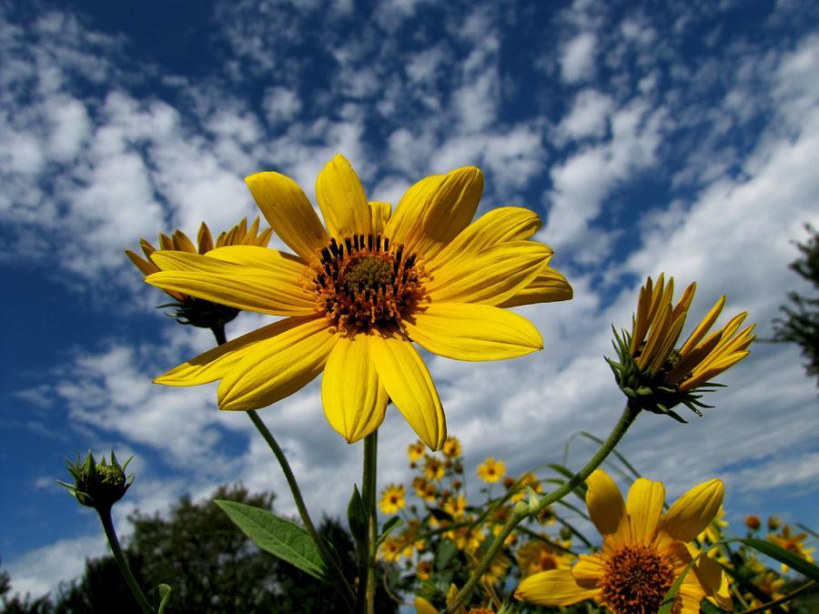 Kansas Photograph - Kansas Sunflower by Ed Golden