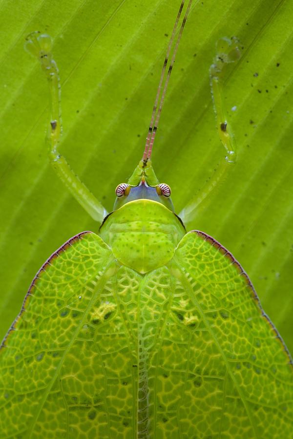 Katydid Mamang River Forest Reserve Photograph by Piotr Naskrecki