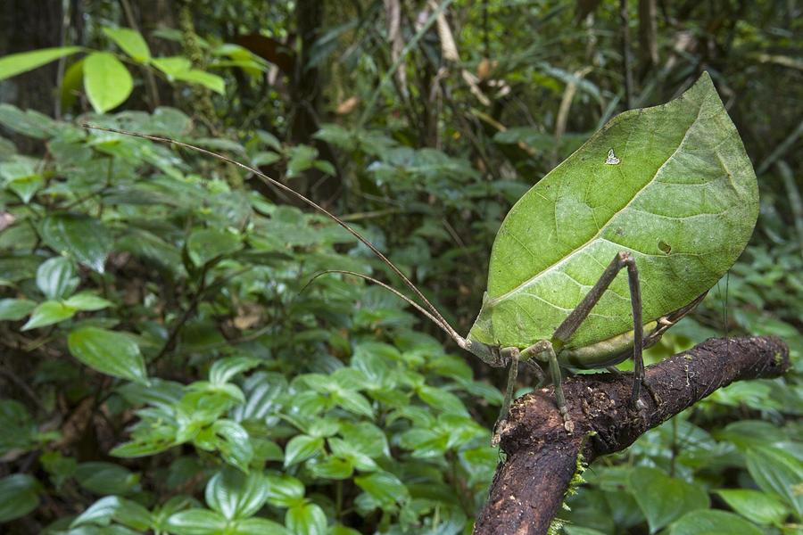 Katydid Mimicking Green Leaf Guyana Photograph by Piotr Naskrecki