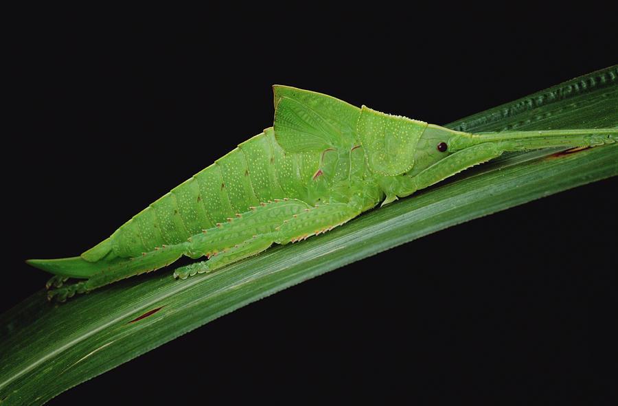 Katydid Tettigoniidae Camouflaged Photograph by Mark Moffett
