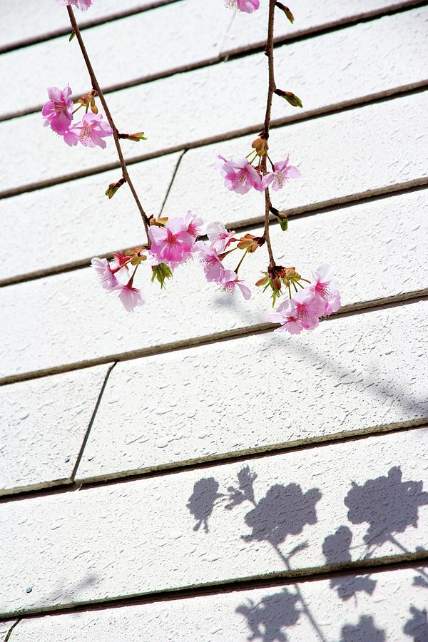 Vertical Photograph - Kawadu Sakura by Privacy Policy