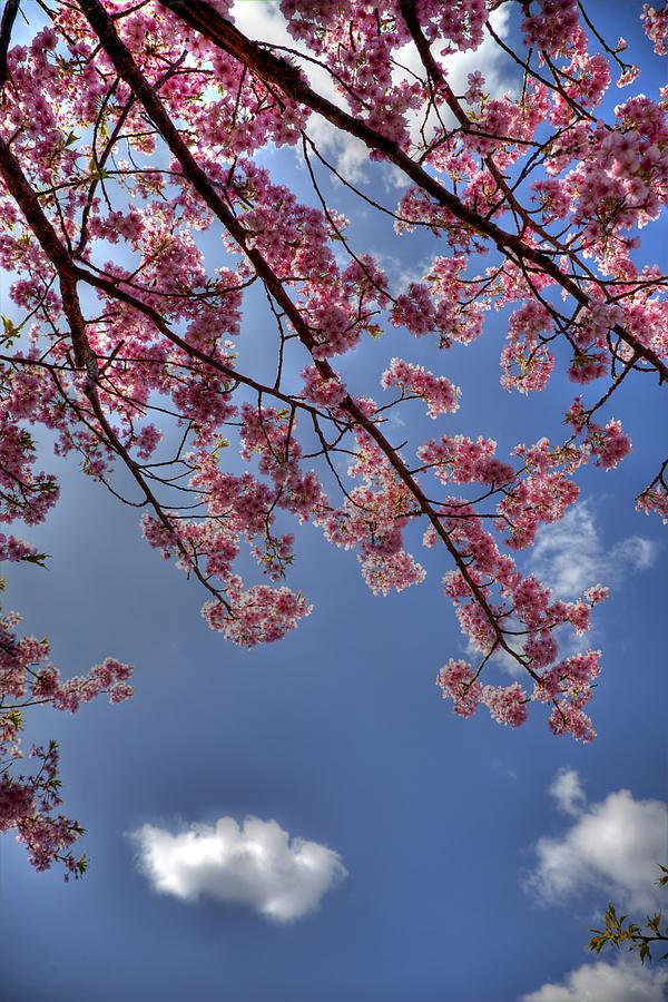 Sakura Photograph - Kawazu Sakura-III by Tad Kanazaki