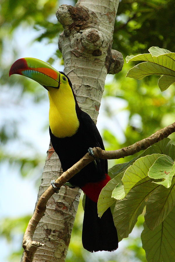 Keel-billed Toucan Photograph - Keel-billed Toucan by Andrew McInnes