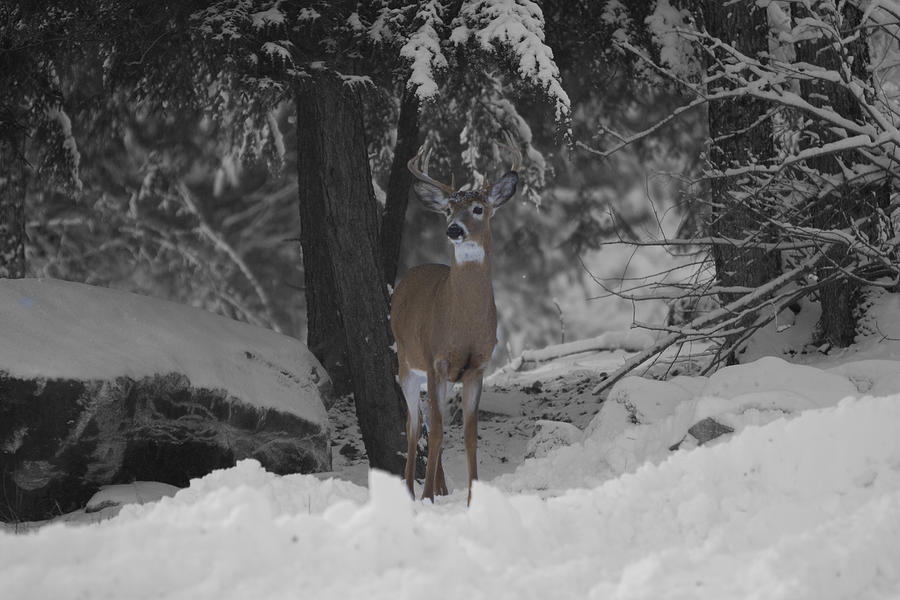 Buck Photograph - Keeping Guard by Gord Patterson