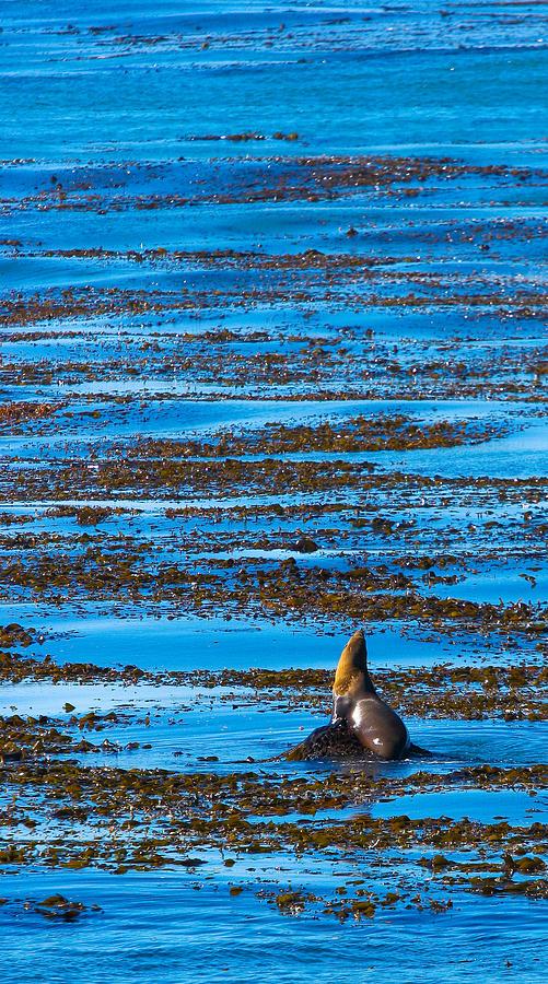 Kelp Photograph - Kelp And Sea Lion by Adam Pender