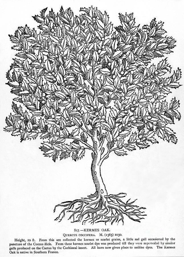 Biology Photograph - Kermes Oak Tree by Granger