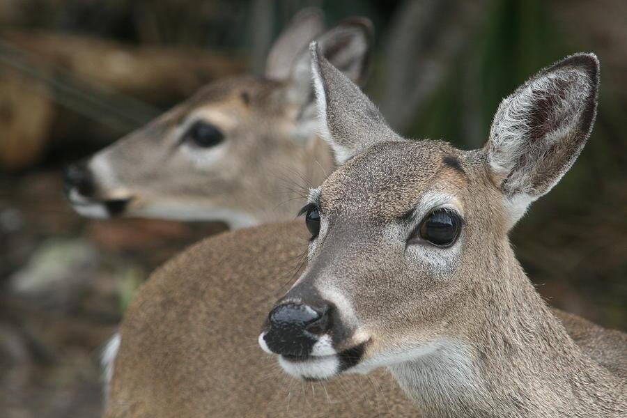 Florida Wildlife Photograph - Key Deer Florida by Valia Bradshaw