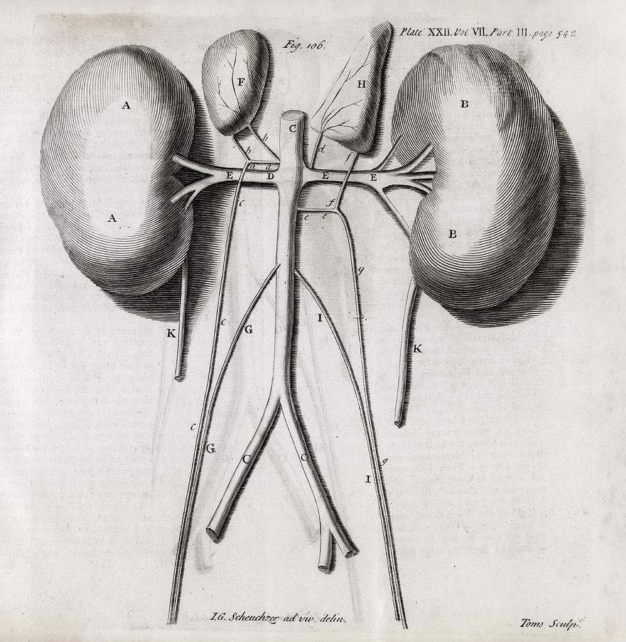 Kidney Anatomy, 18th Century Photograph by Middle Temple Library