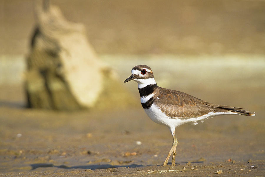 killdeer chatrooms Killdeer (hidatsa: baahish, singing) is a city in dunn county, north dakota, united states the population was 751 at the 2010 census.