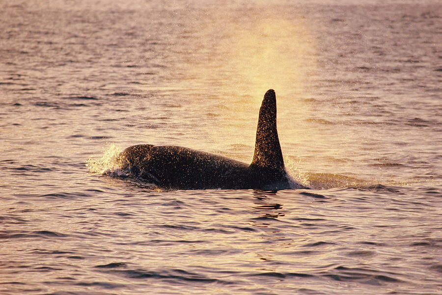 Orcinus Orca Photograph - Killer Whale by Alexis Rosenfeld