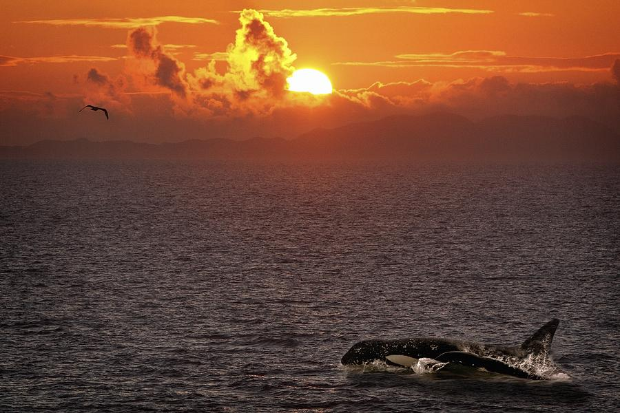 Body Of Water Photograph - Killer Whale In The Water by Richard Wear