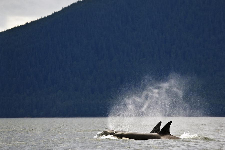 Alaska Photograph - Killer Whales, Alaska, Usa by Richard Wear