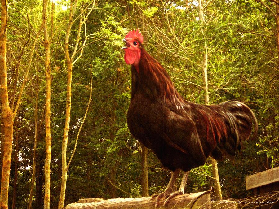 Chicken Photograph - King Of The Barnyard - Rooster by Yvon van der Wijk
