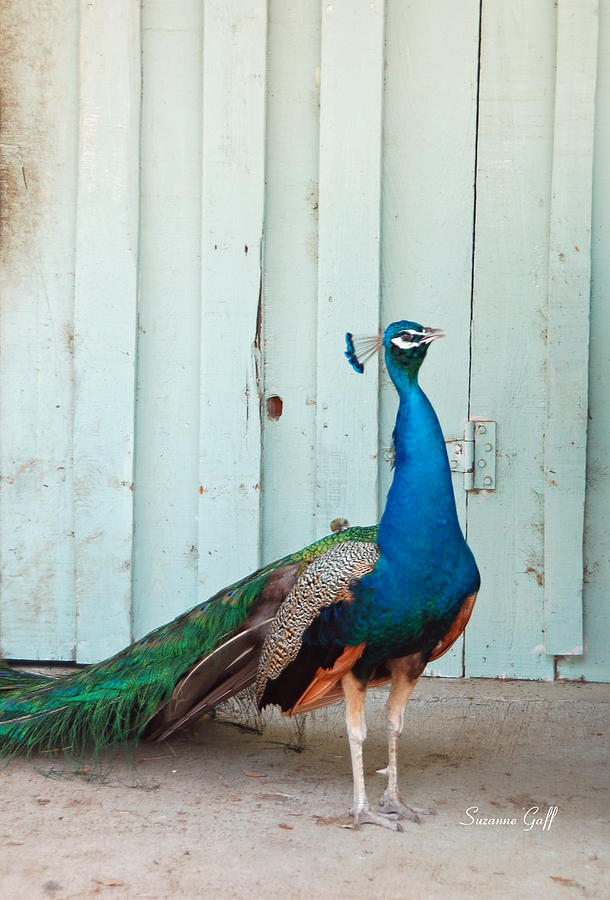 Peacock Photograph - King Of The Barnyard by Suzanne Gaff