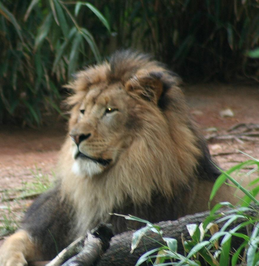 King Photograph - King Of The Pride by Debi York