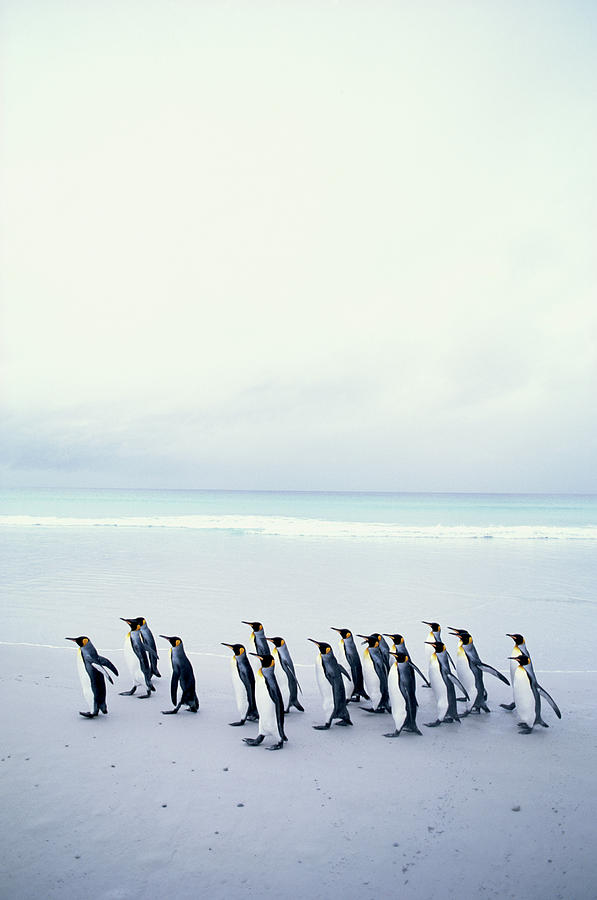 Vertical Photograph - King Penguins (aptenodytes Patagonicus) Falkland Islands by Kim Heacox