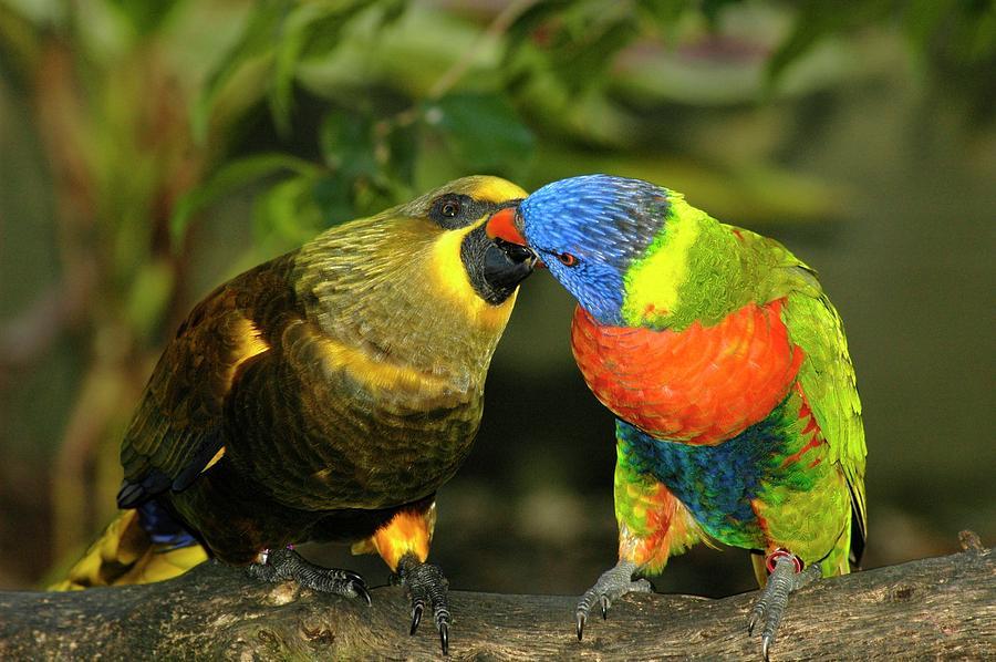 Lorikeet Photograph - Kissing Birds by Carolyn Marshall