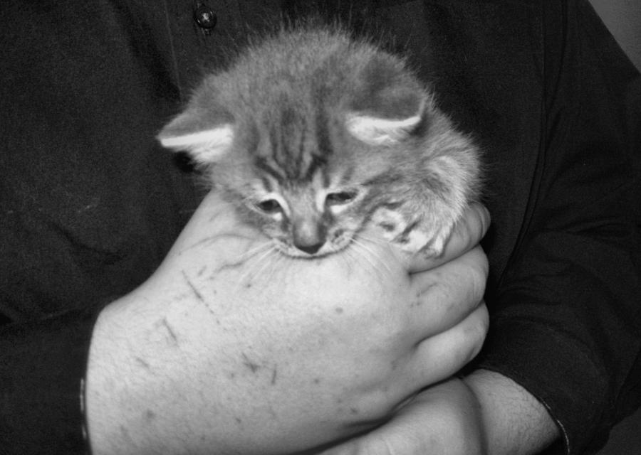 Kitten Photograph - Kitten Frenzy Love by Juliana  Blessington