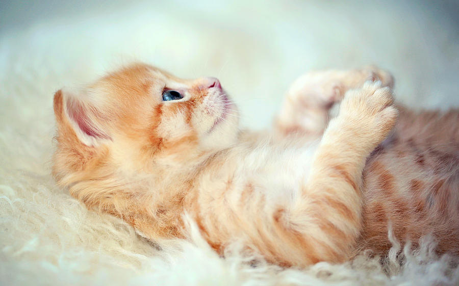 Horizontal Photograph - Kitten Lying On Its Back by Susan.k.