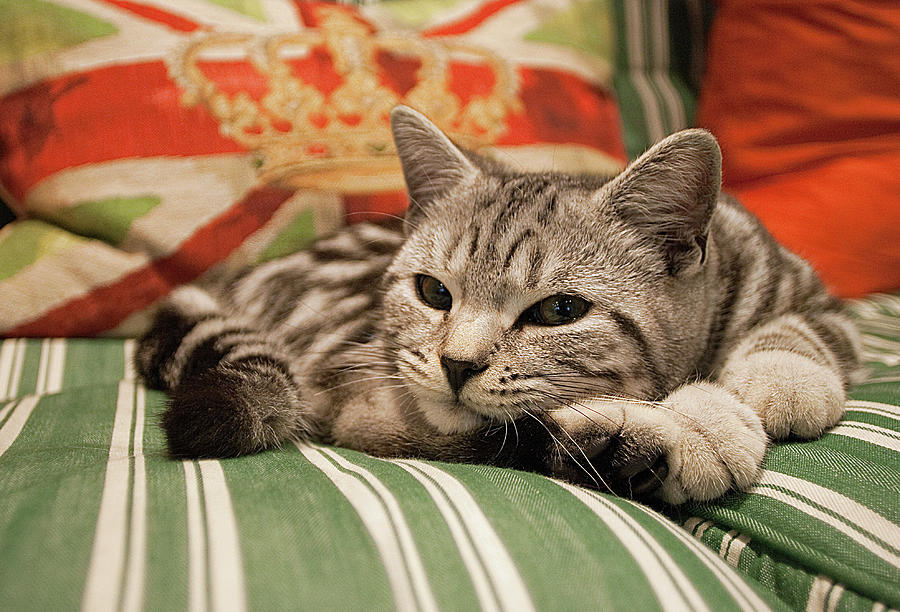 Horizontal Photograph - Kitten Lying On Striped Couch by Kim Haddon Photography