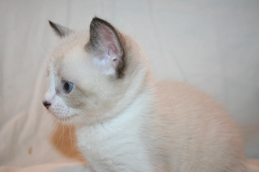 Kitten Photograph - Kitten Profile by Eduardo Bouzas