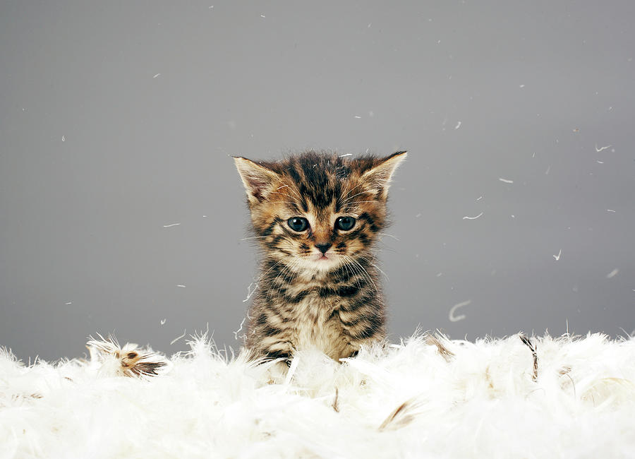 Kitten Surrounded By Feathers Photograph by Martin Poole