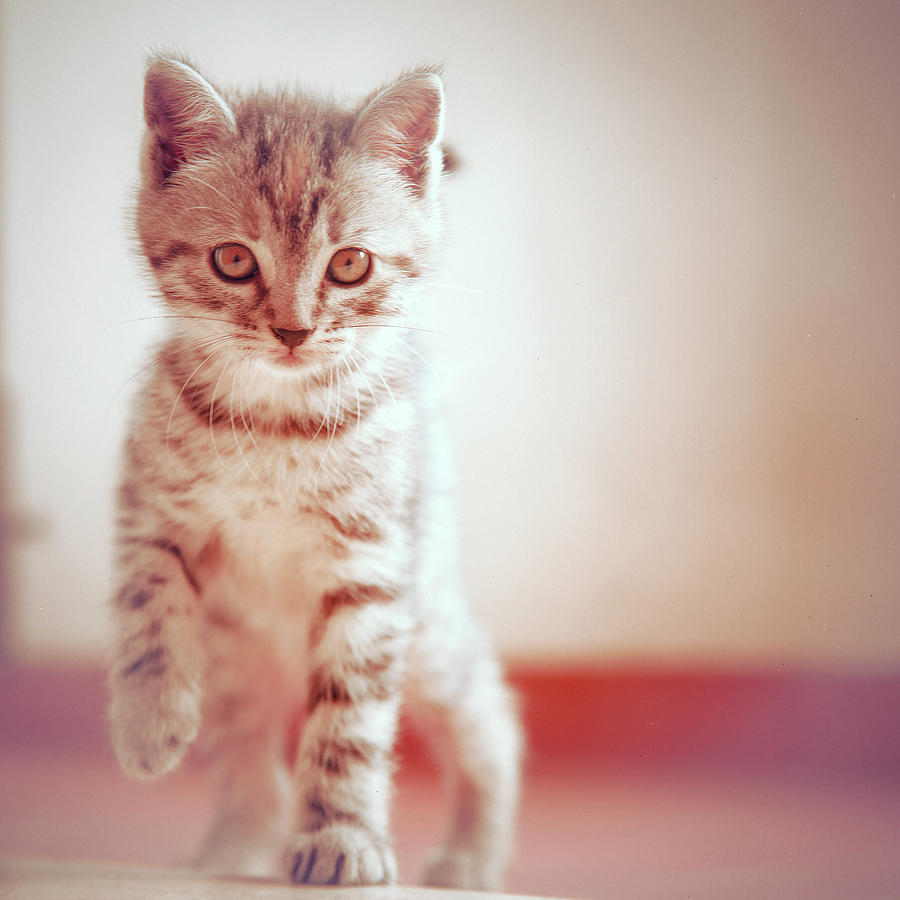 Square Photograph - Kitten Walking On Floor by Alberto Cassani