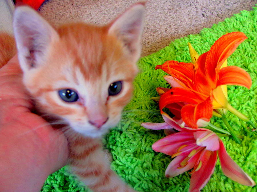 Photograph Photograph - Kitten With Tigerlilies by Amy Bradley