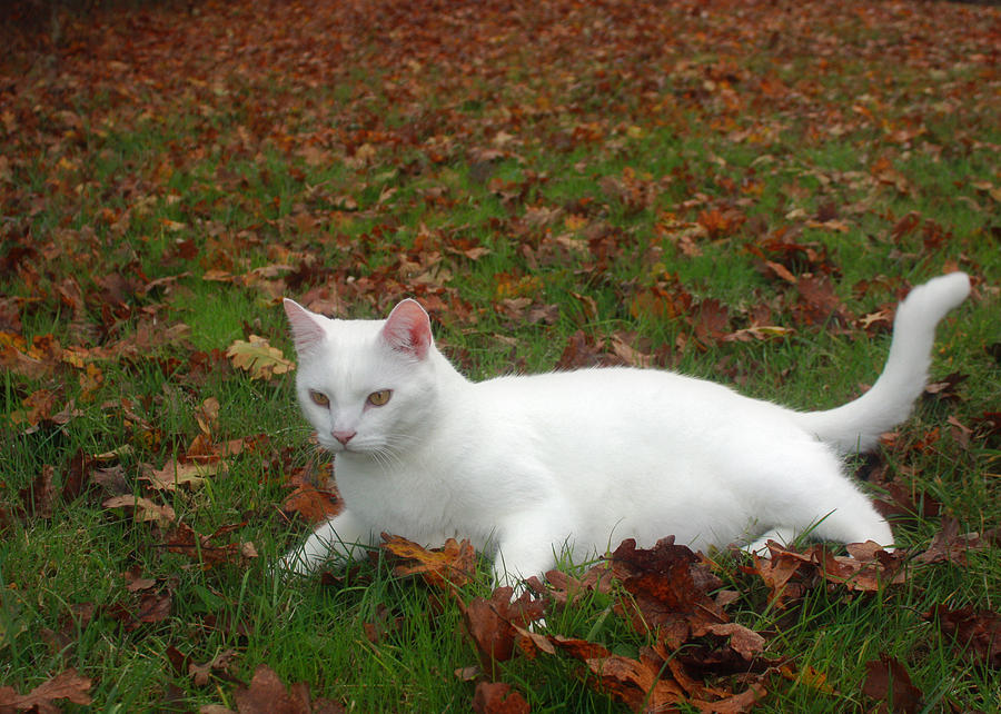 Kitty Photograph - Kitty In The Leaves by Tyra  OBryant