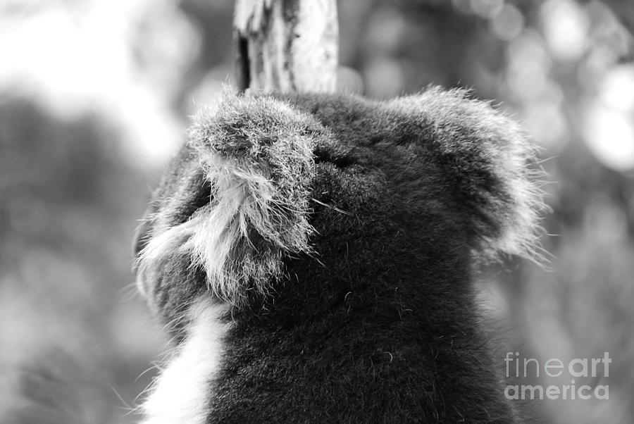 Koala Photograph - Koala by Camilla Brattemark