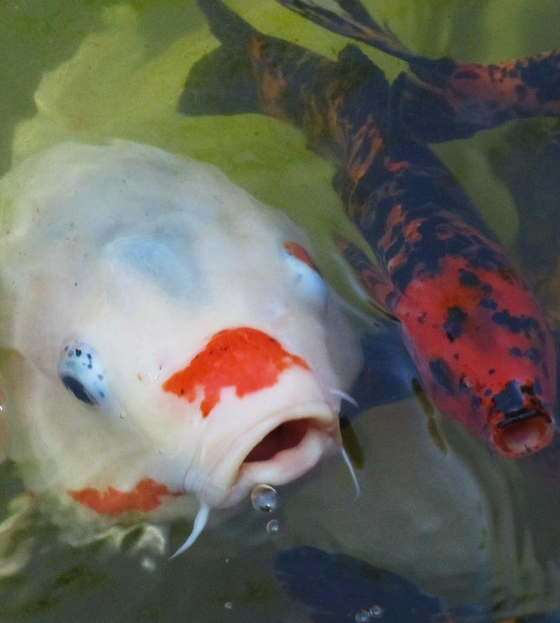 Koi Fish Photograph - Koi Fish #1 by Todd Sherlock