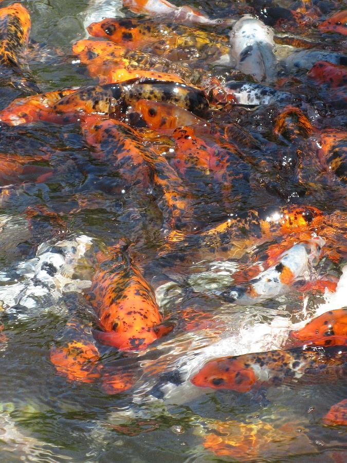 Koi Fish Photograph - Koi Fish #2 by Todd Sherlock