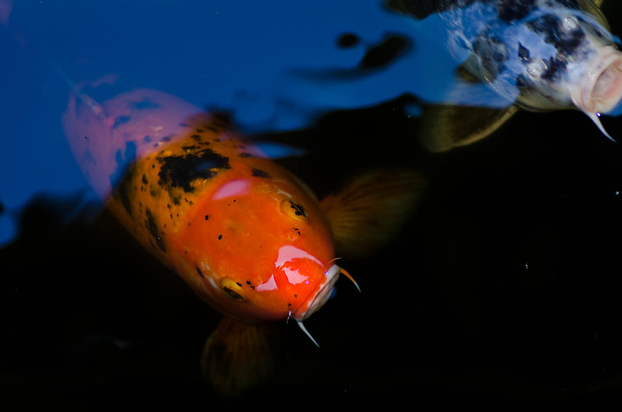 Koi fish photograph by imagevixen photography for Large coy fish